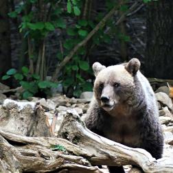 Osservazione Dell'orso